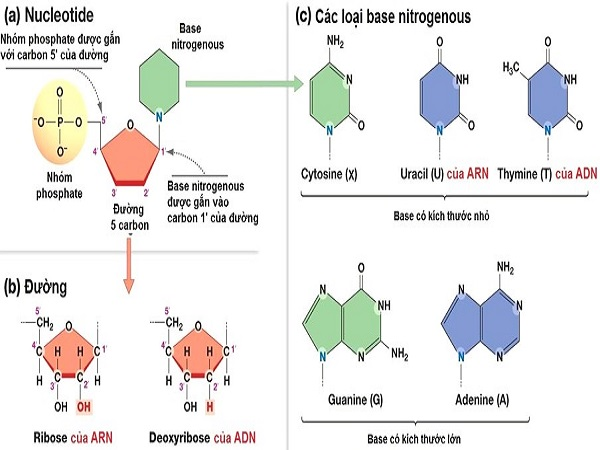 voh.com.vn-axit-nucleic-1