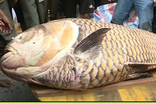 Cá hô