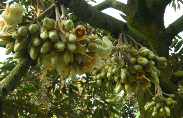 Bổ sung dinh dưỡng cho sầu riêng giai đoạn ra hoa