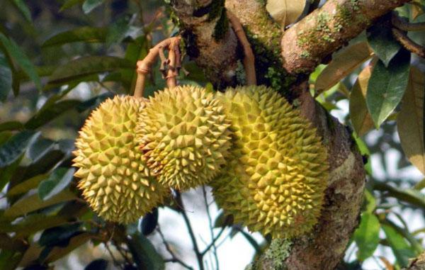 Kỹ thuật tăng tỷ lệ đậu trái trên cây sầu riêng