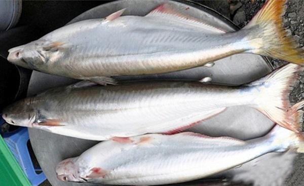 Giá cả thị trường hôm nay 7/5/2018: Cá bông lau phi-lê 500 ngàn đồng một kg