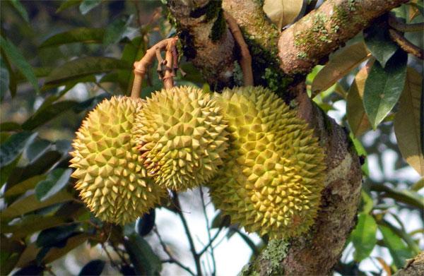 Phục hồi cây sầu riêng sau thu hoạch