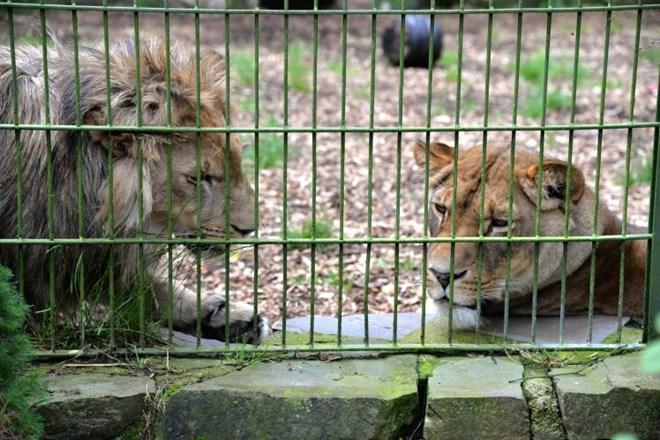 Sư tử, hổ, báo và gấu sổng khỏi vườn bách thú tại Đức