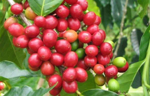 Chăm sóc cà phê giai đoạn đầu mùa mưa