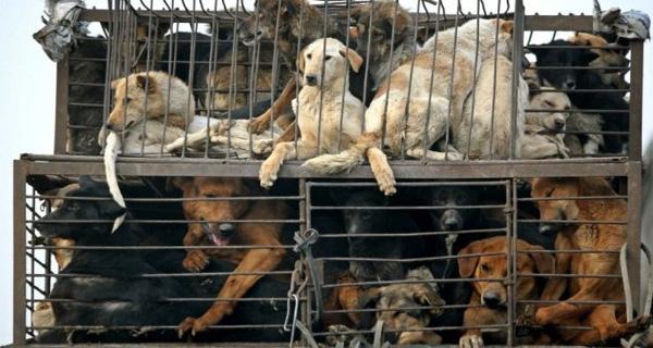 Nên hay không cấm ăn thịt chó?