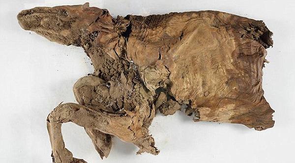 Hóa thạch bò con và chó sói 2