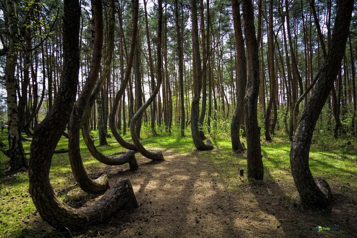 Rừng cong về hướng bắc: Theo The New York Times, khu rừng thuộc làng Nowe Czarnowo ở phía nam Szcezecin, Ba Lan gồm 400 cây thông có gốc uốn cong về hướng bắc trong khi thân vẫn thẳng đứng. Năm 1930, khoảng 100 cây thông được trồng ở khu vực này. Sau khi ngôi làng Nowe Czarnowo bị tàn phá nặng nề trong Thế chiến thứ 2, người ta bắt đầu phát hiện sự lạ thường của các cây thông. Ngày nay, các nhà khoa học cho rằng các cây thông ở đây đều mọc tự nhiên khoảng 7-8 năm trước khi bị bẻ cong. Độ cao tối đa của loại cây này là 15m. Hiện vẫn chưa có giải thích chính xác cho hiện tượng cây mọc lạ kỳ này nhưng nhiều giả thuyết được đưa ra như do trọng lực Trái đất thay đổi bất thường, do bão tuyết, thậm chí do hoạt động của xe tăng trong chiến tranh làm đổi hướng mọc của cây con.