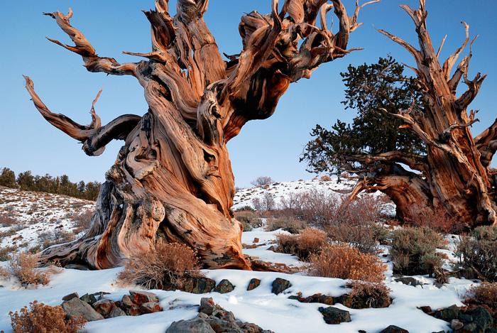 """Rừng của những sinh vật """"lớn tuổi"""" nhất: Rừng thông cổ Bristlecone, miền đông California, Mỹ nằm ở độ cao 3.000m trên dải núi Trắng, trong rừng quốc gia Inyo. Trong suốt một thời gian dài, khu rừng được xem là nơi sinh sống của những sinh vật có tuổi thọ cao nhất thế giới. Trong nhiều năm liền, cây thông Methuselah luôn được xem có tuổi thọ lâu đời nhất thế giới khi sống khoảng 4.849 năm - cỡ tuổi kim tự tháp đầu tiên của Ai Cập. Đến năm 2013, Methuselah mất ngôi vị quán quân bởi một cây thông khác trong khu vực có độ tuổi đến khoảng 5.067 năm."""