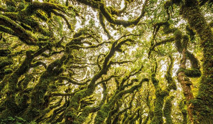 """Rừng """"yêu tinh"""": Theo trang Newzealand.com, khu rừng Goblin (tiếng Anh có nghĩa yêu tinh) nằm trong khu vực núi Taranaki, vùng bờ biển phía tây New Zealand. Nơi đây có dáng vẻ độc đáo mà bạn sẽ không thể thấy ở bất kỳ nơi nào khác. Sở dĩ gọi là rừng """"yêu tinh"""" vì khắp khu rừng là những loại cây với dáng vẻ kỳ lạ, lại được phủ một lớp rêu xanh mờ ảo làm ta có cảm giác như lạc vào xứ sở huyền bí."""