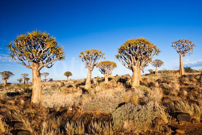 """Rừng """"nấm"""" giữa hoang mạc: Theo trang Sputnik News, rừng cây Quiver ở miền nam Namibia nằm giữa hoang mạc vô cùng đặc biệt. Khoảng 250 cá thể Quiver hiếm có sinh sống trong khu rừng từ 200-300 năm. Cây Quiver (Aloidendron dichotomum) với hình dáng như một cây nấm khổng lồ là một loài sống đặc trưng ở miền nam châu Phi và thường được xem là biểu tượng của đất nước Namibia. Tên cây Quiver trong tiếng Anh có nghĩa là dụng cụ đựng tên bắn cung, do trước kia người dân bản địa thường sử dụng những nhánh rỗng của loại cây này đựng các mũi tên khi săn bắn."""