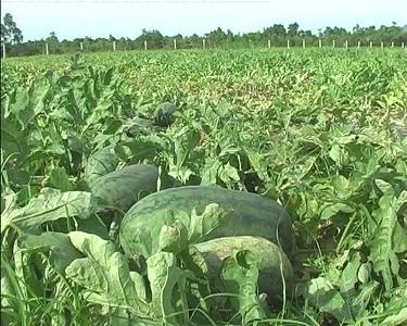 6.000 tấn dưa hấu chưa có nguồn tiêu thụ
